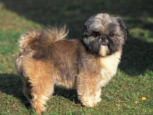 Shih Tzu Puppy Standing on Grass by Adriano Bacchella