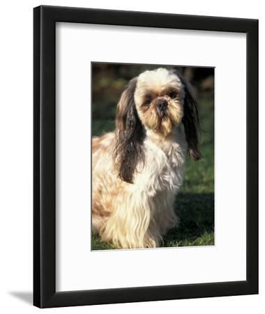 Beautiful Shih Tzu Framed Posters Artwork For Sale Posters And