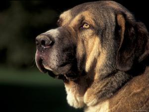 Spanish Mastiff Portrait by Adriano Bacchella