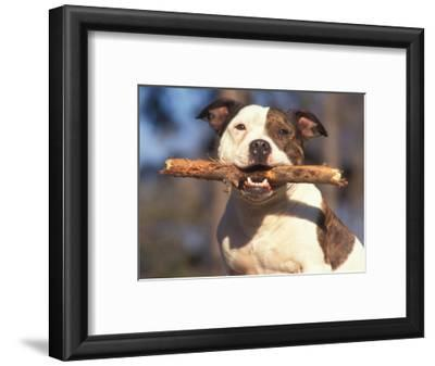 Staffordshire Bull Terrier Carrying Stick in Its Mouth