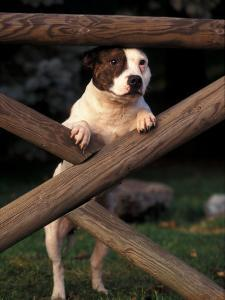 Staffordshire Bull Terrier Looking Through Fence by Adriano Bacchella
