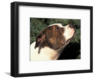 Staffordshire Bull Terrier Looking Up