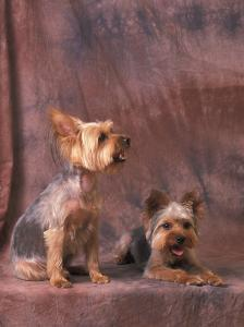 Studio Portraits of Two Yorkshire Terriers, One Lying Down and the Other Sitting up and Looking Up by Adriano Bacchella