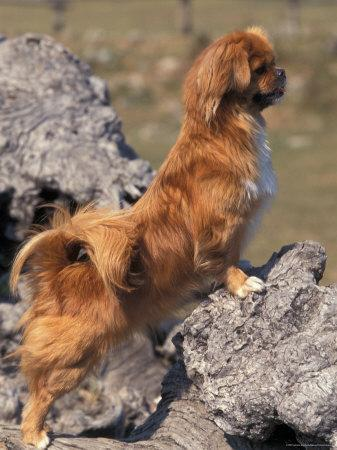 Tibetan Spaniel Perching on Rocks for a Better View