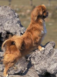 Tibetan Spaniel Perching on Rocks for a Better View by Adriano Bacchella
