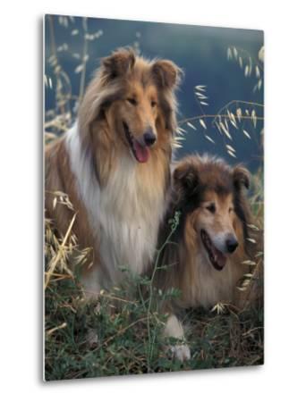 Two Shetland Sheepdogs Panting