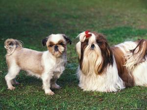 Two Shih Tzus, One Has Been Clipped and the Other with Groomed Long Hair by Adriano Bacchella