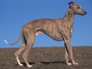 Whippet by Adriano Bacchella