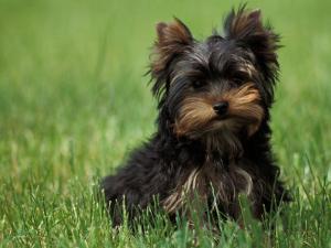Yorkshire Terrier Puppy Sitting in Grass by Adriano Bacchella
