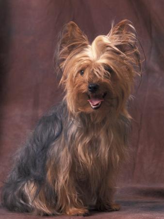 Yorkshire Terrier Studio Portrait