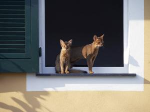 Young Somali Cat and Abyssinian Cat Sitting on Window Ledge, Italy by Adriano Bacchella