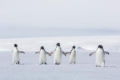 Adult Adelie Penguins (Pygoscelis Adeliae) Walking on First Year Sea Ice in Active Sound-Michael Nolan-Photographic Print