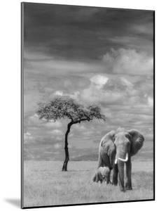 Adult African Elephant with Calf
