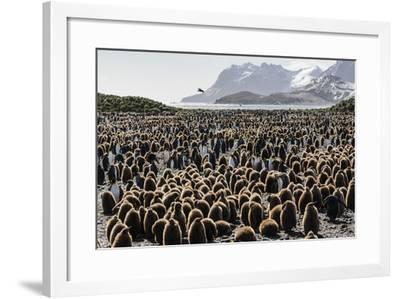 Adult and Juvenile King Penguins (Aptenodytes Patagonicus)-Michael Nolan-Framed Photographic Print
