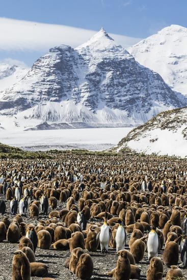 Adult and Juvenile King Penguins (Aptenodytes Patagonicus)-Michael Nolan-Photographic Print
