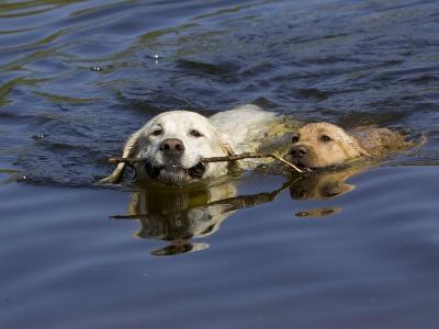 Adult and Puppy Labradors Playing Fetch with a Stick in the Water-Roy Toft-Photographic Print