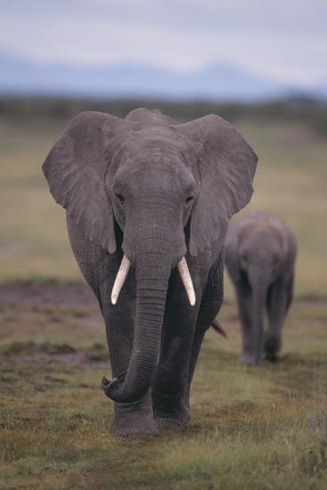 Adult and Young Elephant-DLILLC-Photographic Print