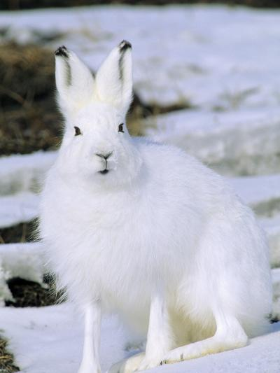 Adult Arctic Hare (Lepus Arcticus), Banks Island, Northwest Territories, Arctic Canada-Wayne Lynch-Photographic Print