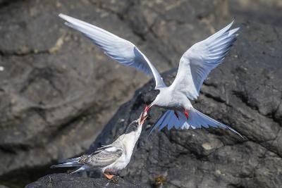 Adult Arctic Tern (Sterna Paradisaea) Returning from Sea with Fish for its Chick on Flatey Island-Michael Nolan-Photographic Print