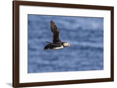 Adult Atlantic Puffin (Fratercula Arctica) in Flight with Fish in its Bill, Snaefellsnes Peninsula-Michael Nolan-Framed Photographic Print