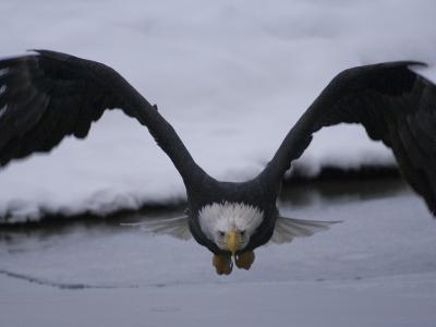Adult Bald Eagle (Haliaeetus Leucocephalus), Alaska-Michael S^ Quinton-Photographic Print