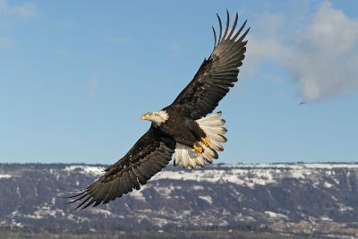 Adult Bald Eagle in Flight--Photographic Print