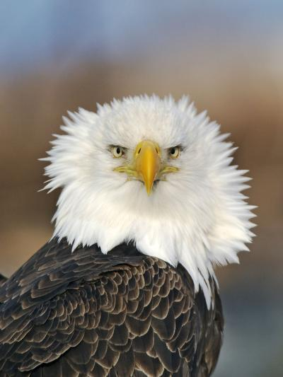 Adult Bald Eagle--Photographic Print