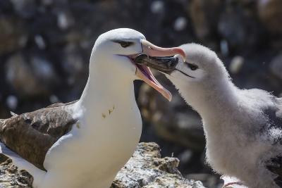 Adult Black-Browed Albatross Feeding Chick in New Island Nature Reserve, Falkland Islands-Michael Nolan-Photographic Print