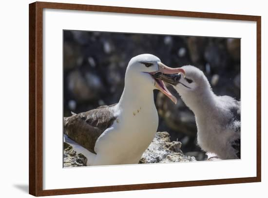 Adult Black-Browed Albatross Feeding Chick in New Island Nature Reserve, Falkland Islands-Michael Nolan-Framed Photographic Print