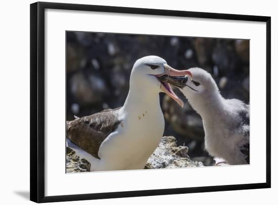 Adult Black-Browed Albatross Feeding Chick in New Island Nature Reserve, Falkland Islands-Michael Nolan-Framed Photographic Print