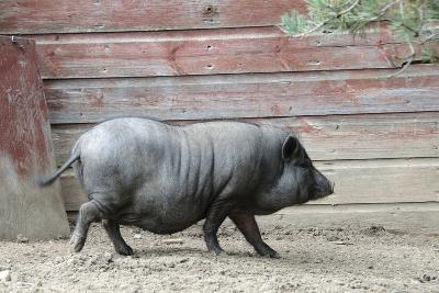 Adult Black Pot Pellied Pig Walking on Farm-Matt Freedman-Photographic Print