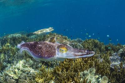 https://imgc.artprintimages.com/img/print/adult-broadclub-cuttlefish-courtship-display-sebayur-island-flores-sea-indonesia-southeast-asia_u-l-q1bodnw0.jpg?p=0