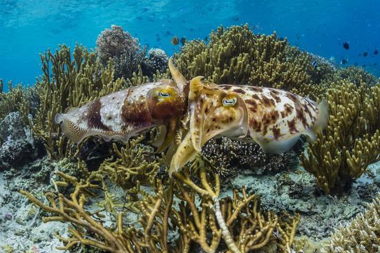 Adult broadclub cuttlefish mating on Sebayur Island, Flores Sea, Indonesia, Southeast Asia-Michael Nolan-Photographic Print