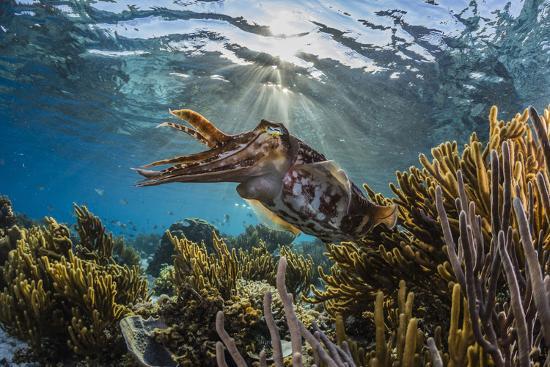Adult broadclub cuttlefish on the reef at Sebayur Island, Flores Sea, Indonesia, Southeast Asia-Michael Nolan-Photographic Print