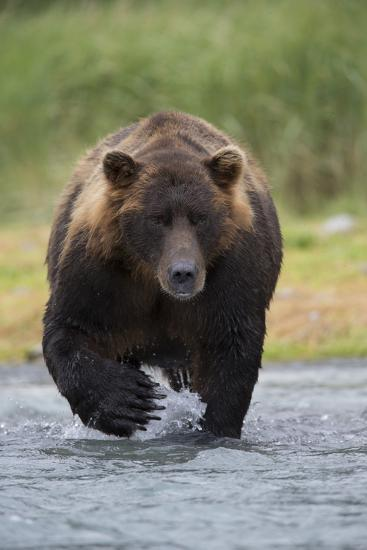 Adult Brown Bear, Ursus Arctos, Fishing for Salmon-Roy Toft-Photographic Print