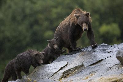 Adult Brown Bear, Ursus Arctos, with Juvenile Cubs-Roy Toft-Photographic Print