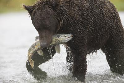 Adult Brown Bear, Ursus Arctos, with Salmon-Roy Toft-Photographic Print