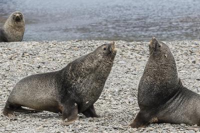 Adult Bull Antarctic Fur Seals (Arctocephalus Gazella) Fighting in Stromness Harbor, South Georgia-Michael Nolan-Photographic Print