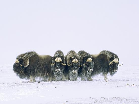 Adult Bull Muskoxen (Ovibos Moschatus) in Defensive Line. Banks Island, Northwest Territories, Arct-Wayne Lynch-Photographic Print