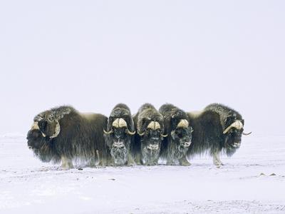 https://imgc.artprintimages.com/img/print/adult-bull-muskoxen-ovibos-moschatus-in-defensive-line-banks-island-northwest-territories-arct_u-l-pzlexd0.jpg?p=0