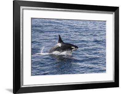 Adult Bull Type a Killer Whale (Orcinus Orca) Power Lunging in the Gerlache Strait, Antarctica-Michael Nolan-Framed Photographic Print