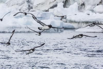 Adult Cape Petrels (Daption Capense) Feeding at Brown Bluff, Antarctica, Polar Regions-Michael Nolan-Photographic Print