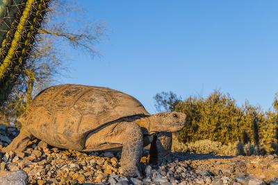 Adult Captive Desert Tortoise (Gopherus Agassizii) at Sunset at the Arizona Sonora Desert Museum-Michael Nolan-Photographic Print