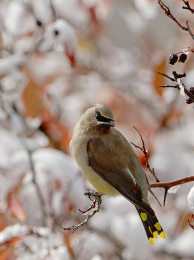 Adult Cedar Waxwing, Grand Teton National Park, Wyoming, USA-Rolf Nussbaumer-Photographic Print