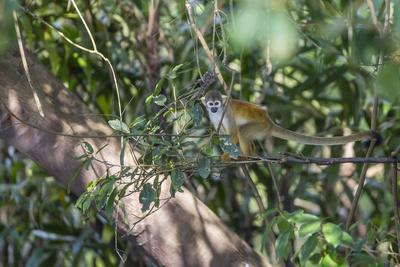 https://imgc.artprintimages.com/img/print/adult-common-squirrel-monkey-saimiri-sciureus-in-the-pacaya-samiria-nature-reserve-loreto-peru_u-l-q1bs2ed0.jpg?p=0