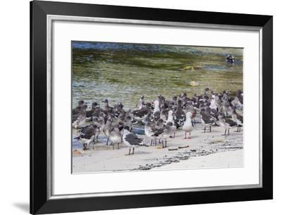 Adult Dolphin Gulls (Leucophaeus Scoresbii) Amongst Chick Creche, Falkland Islands-Michael Nolan-Framed Photographic Print