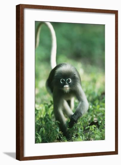 Adult Dusky Leaf Monkey (Trachypithecus Obscurus) Running, Thailand 1996-Elio Della Ferrera-Framed Photographic Print