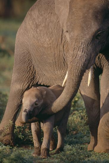 Adult Elephant Guarding Baby-DLILLC-Photographic Print