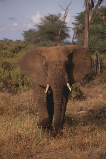 Adult Elephant-DLILLC-Photographic Print