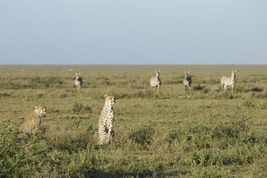 Adult Female Cheetah with Cub (Acinonyx Jubatus) Tanzania-Stu Porter-Photographic Print